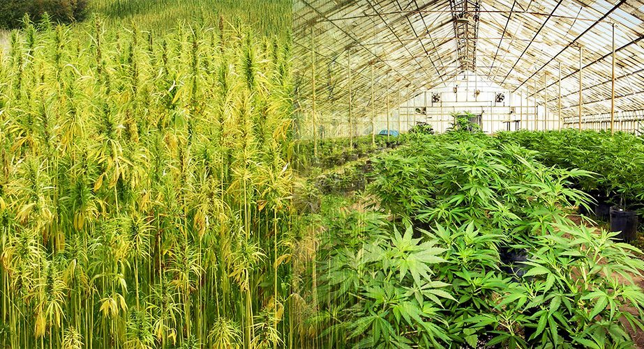 Hemp vs. Marijuana: Are Hemp and Marijuana the Same?