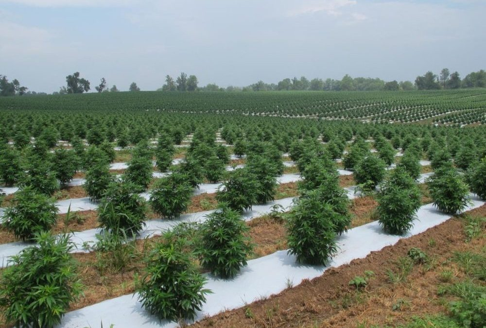 Industrial Hemp Farming | What is the reason to grow Industrial Hemp?